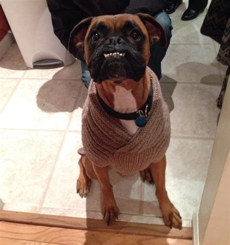 sweaters for boxer dogs 18 things that boxer