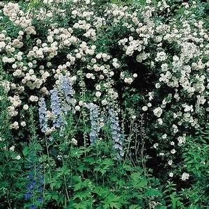 Rosier Grimpant Blanc : choisir son rosier gamm vert ~ Premium-room.com Idées de Décoration