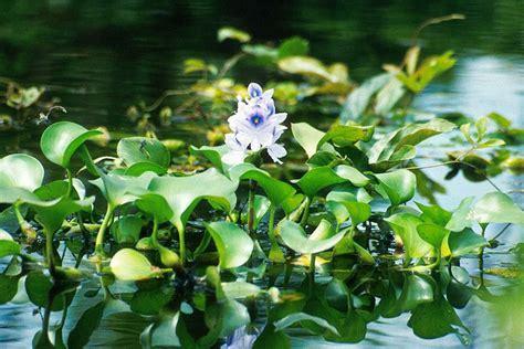 eceng gondok ciri tanaman khasiat manfaatnya