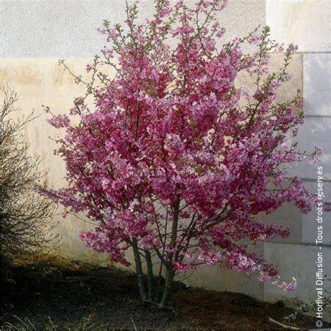 cerisier du japon en pot prunus x subhirtella fukubana le printemps au japon