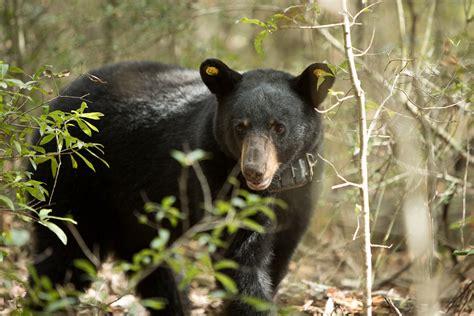 black bear sightings   increase  alabama