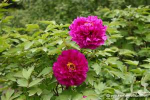 peony flower picture flower pictures 973