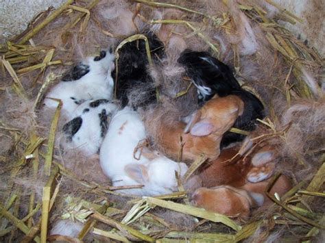 alimentazione conigli riproduzione coniglio da carne idee green
