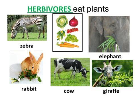 omnivores herbivores carnivores eat plants rabbit zebra cow elephant graders slideshare