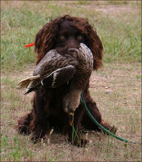 Do Boykin Spaniel Dogs Shed by Gentleman S Boykin Spaniel Kennels