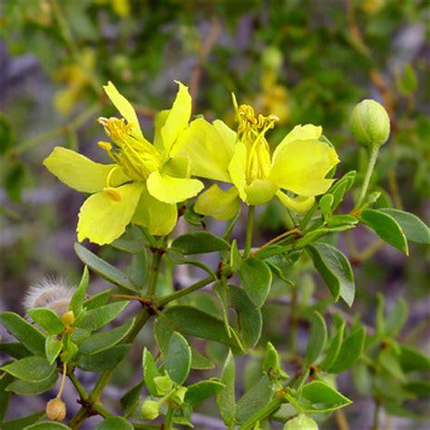 fiori per l anima chaparral repertorio californiano fes fiori per l anima