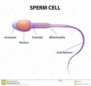 Structure Of A Sperm Cell Stock Vector