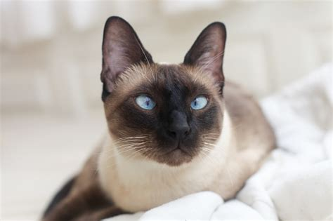 Facts About Siamese Cats Meet The Blueeyed Beauty