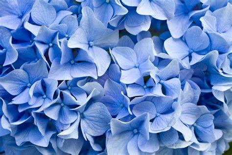 blaue mohnblume bedeutung blaue blumen und ihre bedeutung floraqueen deutschland