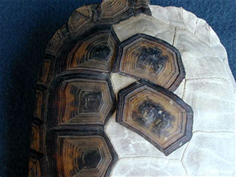 Turtle Shell Shedding Scutes by The Quot Scales Quot On A Turtle S Shell Are Called Quot Scutes