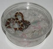 all about corn snakes