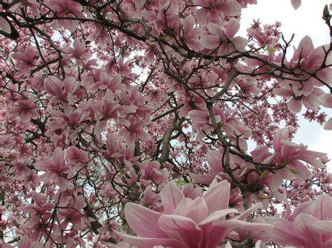 trees that pink flowers pink flower tree pink flower tree pink flower tree nlfrazee flickr