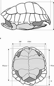 Shell Morphology And Measurements Recorded On Testudo