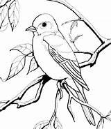 Robin Coloring Getdrawings sketch template