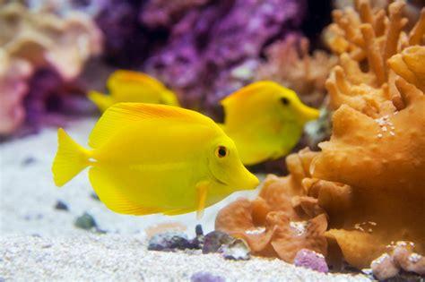 Yellow Tang / Yellow Surgeonfish - Waterworld Aquatics