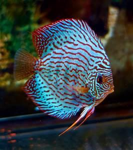 Discus - blue turquoise | Fish Tank | Pinterest | Discus ...