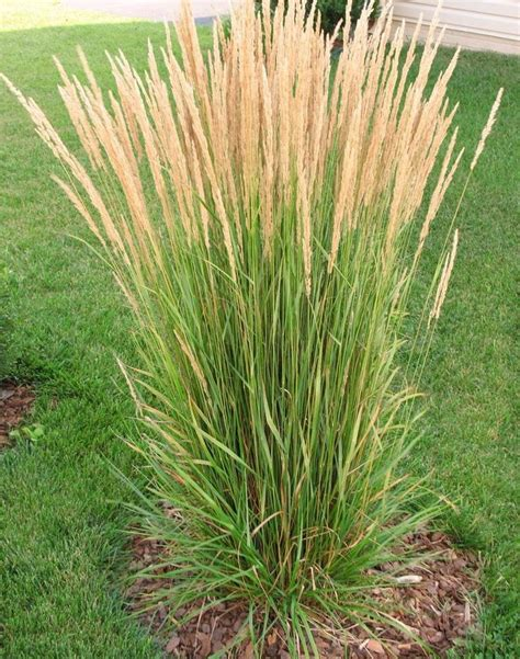 what ornamental grasses are perennials 55 best karl foerster in my garden images on pinterest