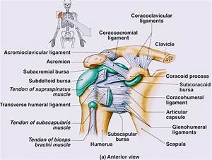 Anatomy Of Shoulder Joint
