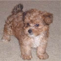 yorkiepoo yorkshire terrier poodle mix info temperament