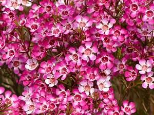 New Waxflower Purple http://refreshrose blogspot com/