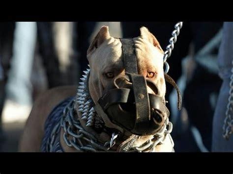 abc canino pitbull terrier americano espanol youtube