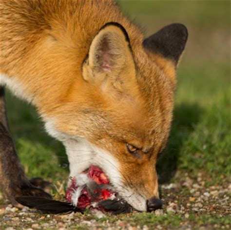 what do foxes eat red foxes eating www pixshark com images galleries with a bite