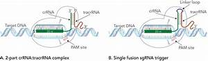 Crispr Guide Rna Format Affects Genome Editing Outcomes
