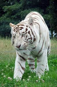 White Bengal Tiger Quotes. QuotesGram