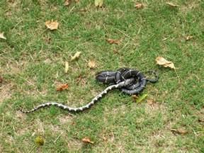 King Snake Eating Rat