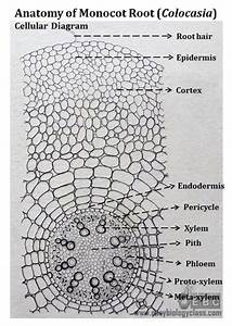 Monocot Root Cross Section Structure  With Ppt