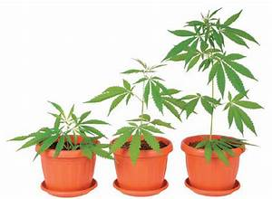 Homegrown Marijuana  The Life Cycle Of Cannabis
