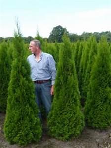 Thuja Smaragd Wachstum : thuja occidentalis 39 smaragd 39 g nstig bestellen ~ Michelbontemps.com Haus und Dekorationen