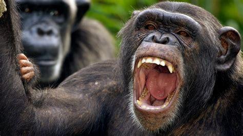 scientists  mysterious chimpanzee behavior