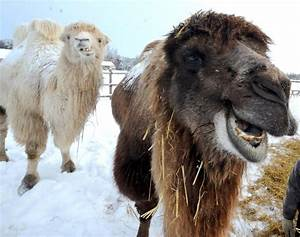 Smiling camels - Photos - Adorable smiling animals - NY ...