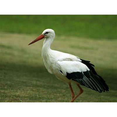 White Stork-Germany National BirdWallpapers9