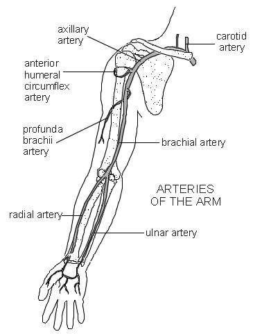 Diagram Of Arm Vessel by Arteries Of The Arm Diagram Patient