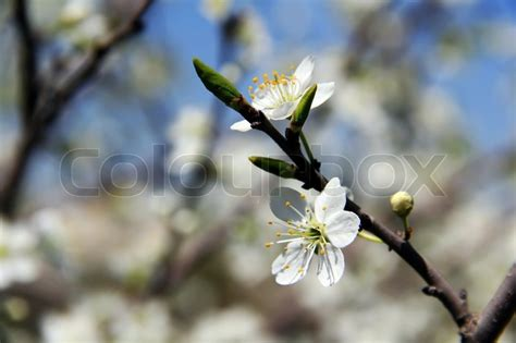 tree with white buds cherry white spring blossom buds tree branch and sky stock photo colourbox