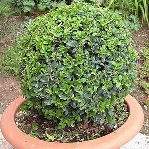 Buchsbaum Schneiden Herbst : wie kriege ich meinen buchsbaum in form frag mutti forum ~ Lizthompson.info Haus und Dekorationen