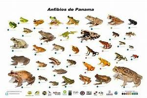 Frog Species Chart 111 Best Images About Animals Frogs On Pinterest Funny