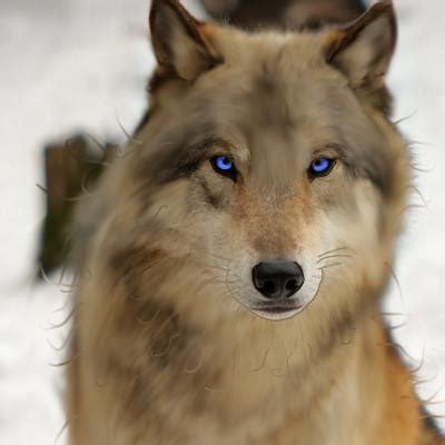 Brown Wolves with Blue Eyes