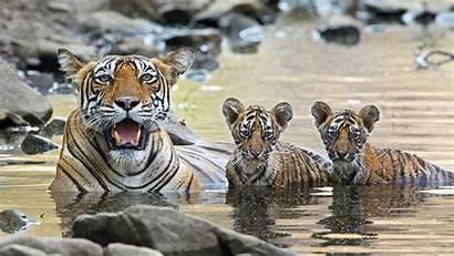 Animal Nature Childhood Tiger Cubs Pbs Animals