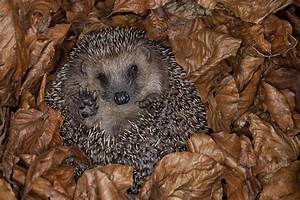Brown-breasted Hedgehog Hibernating Photograph by Ingo Arndt