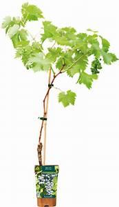 Achat Pied De Vigne Raisin De Table : un pied de vigne ~ Nature-et-papiers.com Idées de Décoration