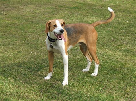 english foxhound pictures wallpapers