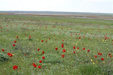 tulips the thrills panoramio photo of wild tulips in steppe