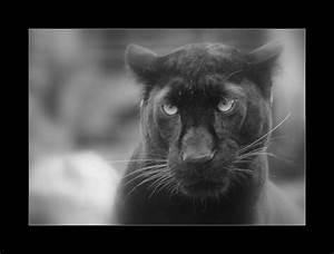 Mettre Twitter En Noir : panth re noir 2 photo et image animaux animaux sauvages bovid s l 39 tat sauvage images ~ Medecine-chirurgie-esthetiques.com Avis de Voitures