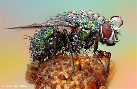 Amazing Macro Photographs Of Insects Covered In Dew By
