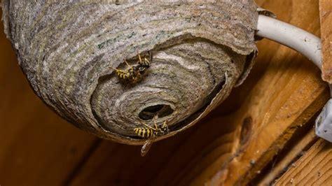 Wer Beseitigt Wespennester by Wespenstiche Ursachen Symptome Und Behandlung Paradisi De