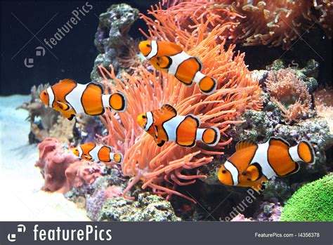 aquatic wildlife sea anemone  clown fish stock picture   featurepics