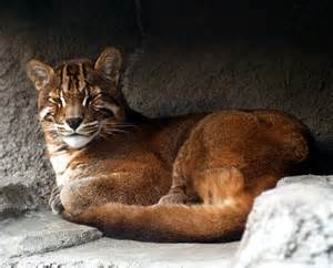 types of big cats the asian golden cat beautiful big cat pictures